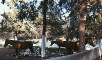 Horses at the Kibbutz's stable