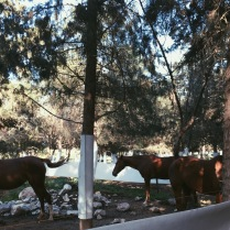 Horses at the Kibbutz's stable